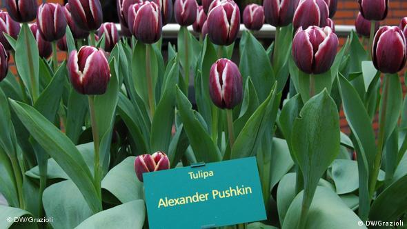 Тюльпан александр пушкин