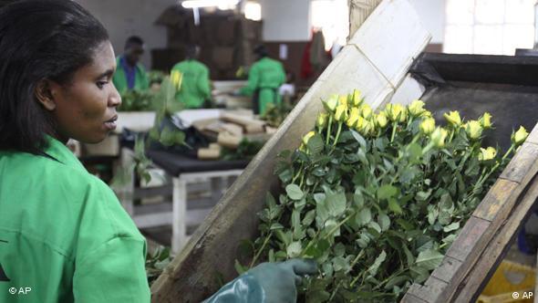 Kenia Blumen werden verpackt