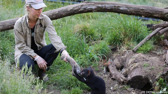 A woman feeds an animal's leg to a Tasmanian devil