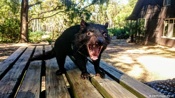 A Tasmanian devil stands on a picnic table and screeches