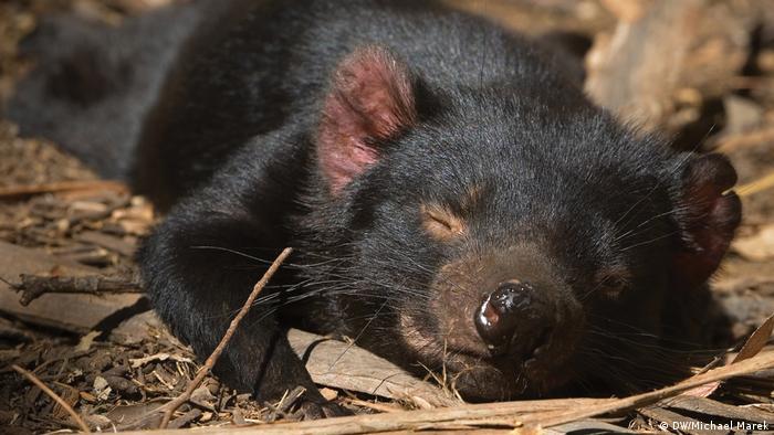 A sleeping Tasmanian devil