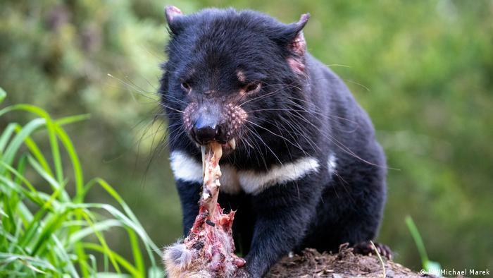 A Tasmanian devil eating a carcass