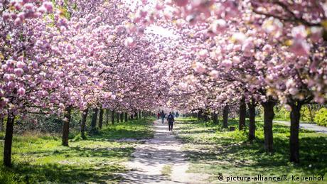 Bunga ceri, musim semi di Jerman