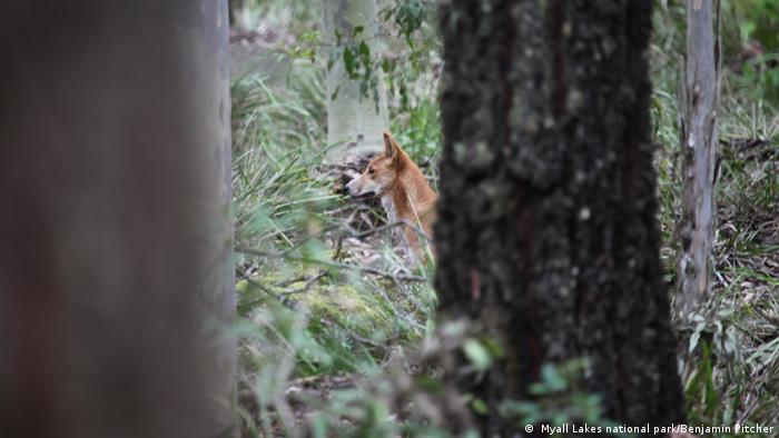 A dingo behind some trees