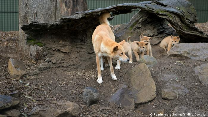 An adult dingo and dingo puppies