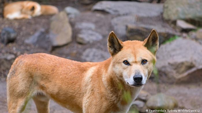 A dingo close up