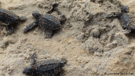 Eco Africa - Ivory Coast: Collaborative action to protect turtles