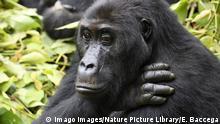 Demokratische Republik Kongo | Flachlandgorilla