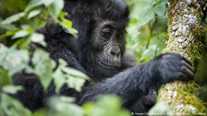 Ein junger Gorilla hält sich an einem Ast fest (Imago Images/Nature Picture Library/C. Courteau)
