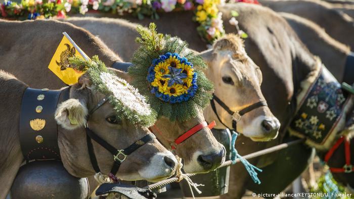 Jesenja rutina ima razne nazive na raznim dijalektima, ali bi se mogla prevesti kao silazak sa Alpa. Od polovine septembra do polovine oktobra, alpski stočari vraćaju krave sa planinskih pašnjaka u doline, gde će provesti zimu u štalama. Ukoliko sezona ispaše prođe dobro po čoveka i životinje, ovaj dan se obeležava svečano, a krave bivaju ukrašene - kao ovde, nadomak švajcarskog sela Vasena.