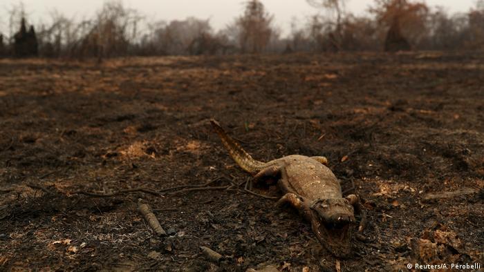 Jacaré queimado no Pantanal
