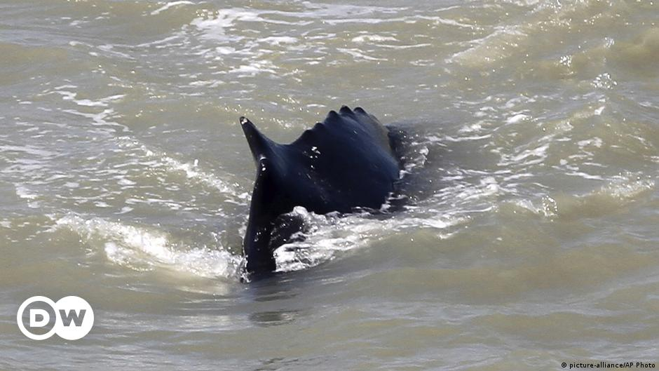 Whales venture into Australian river filled with crocodiles