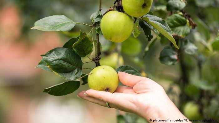 Эти яблоки - не пропадут!