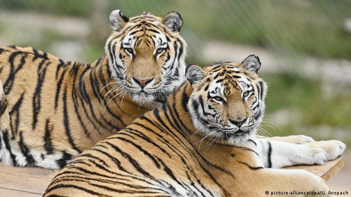 Бывшие цирковые тигры Джил и Сахиб на станции для диких животных около Цвайбрюккена