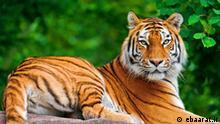 Kaspischer Tiger