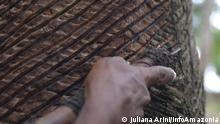 Latex-Extraktion in dem brasilianischem Schutzgebiet Reserva Extrativista Guariba-Roosevelt