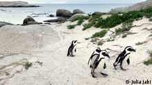 WHL von EcoAfrica Show#188 vom 01.11.2019 Titel: Doing Your Bit: Saving penguins in South Africa Kurztitel: Doing Your Bit: Saving South Africa's penguins Teaser: African penguin numbers are dwindling partly due to overfishing near their breeding grounds. Now an artist is working with conservationists to help attract the animals to areas plentiful in food. Kurzteaser: With their numbers dwindling in Africa, one artist is working to protect penguins using a creative solution. Schlagwörter: South Africa, Africa, environment, conservation, penguins, art, sustainability Autor: Julia Jaki