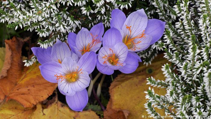 Крокус хорошенький (Crocus pulchellus) также цветет осенью