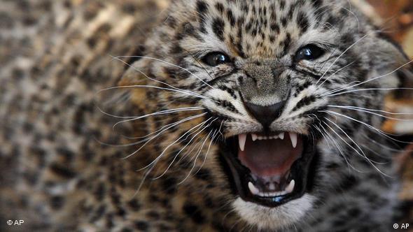 Perischer Leopard Zoo Budapest Flash-Galerie
