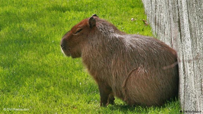 Imagen de capibara en el zoologico de Colonia (DW/Nelioubin)