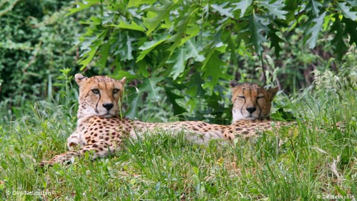 Leopards lying in the grass at the Cologne Zoo (DW/Nelioubin)