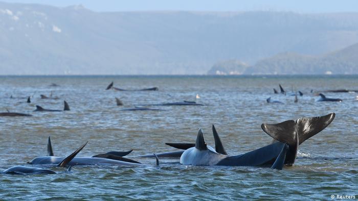 Baleias encalhadas perto da praia na Tasmânia