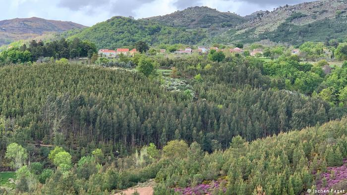 A eucalyptus plantation in Trás-os-Montes, Portugal