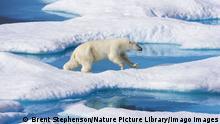 Eisbär in der schmelzenden Arktis