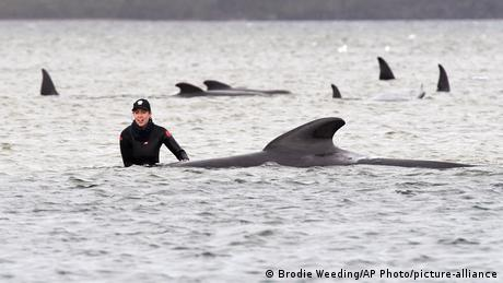 Pilot whales stranded off the island of Tasmania