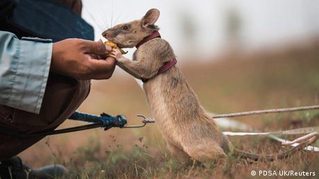 Magava iz Tanzanije je slavu stekao u Kambodži. Afrički divovski torbarski pacov dobio je medalju britanske veterinarske organizacije PDSA jer je nanjušio oko 70 eksplozivnih naprava u minskim poljima i očistio prostor veličine 20 fudbalskih terena. U Kambodži je 64.000 ljudi stradalo od mina nakon građanskog rata sedamdesetih. Veteran Magava ima sedam godina - prosečno njegova vrsta živi osam.