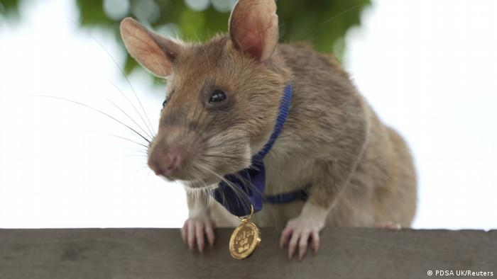 Magawa, a mine-sniffing rat, is pictured in Siem Reap, Cambodia