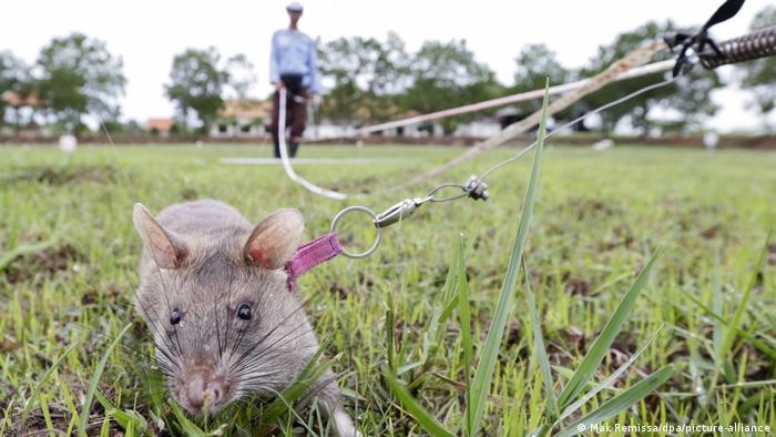 A Cambodian mine detection rat handler trains a giant rat.