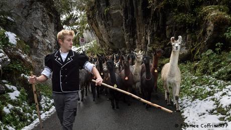 Švajcarski stočari u ovo doba godine obično spuštaju krave sa Alpa - to je veliki događaj koji se svečano obeležava. Zimske mesece onda krave, umesto na alpsim pašnjacima, provode u štalama u dolini. Međutim ovo porodično gazdinstvo u Griesalpu u centralnoj Švajcarskoj gaji lame i alpake - i sada ih spušta u dolinu. Životinje koje potiču sa južnoameričkih Anda odlično su se prilagodile Alpima.