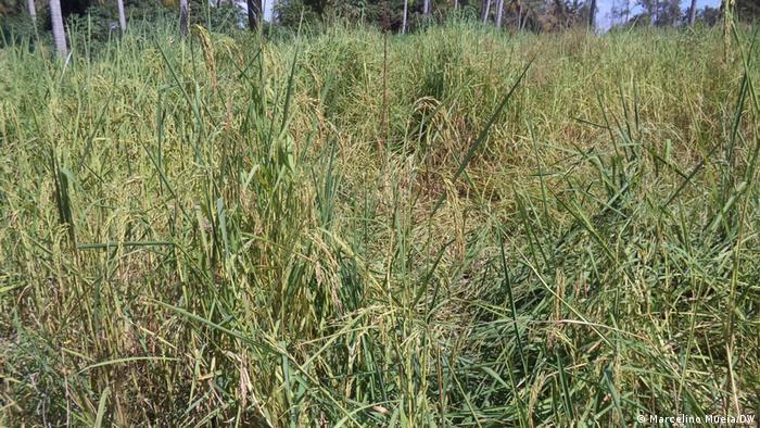 Campo de cultivo em Pebane onde foram encontrados engenhos explosivos