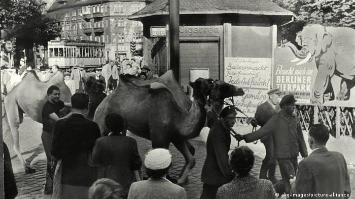 Верблюды - обитатели нового берлинского зоопарка