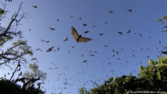 Un gran número de murciélagos volando, con el cielo azul de fondo.