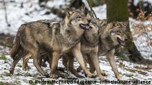 Wandernde Tiere Wolfsrudel
