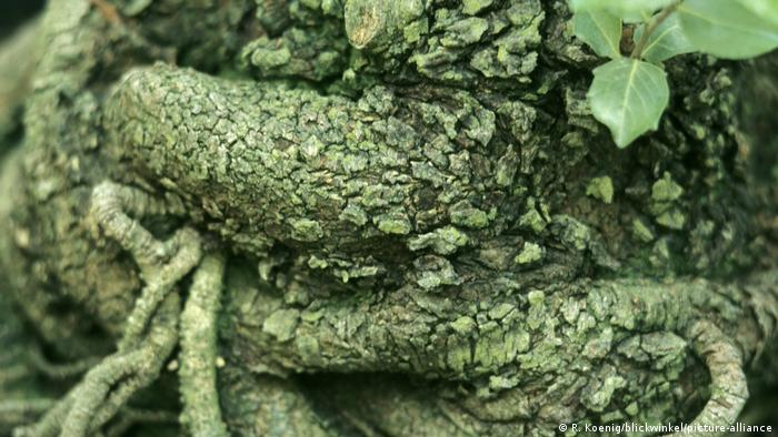 Close-up view of a quillaja tree's gree bark (R. Koenig/blickwinkel/picture-alliance)