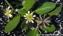 Seifenrindenbaum | Quillaria saponaria