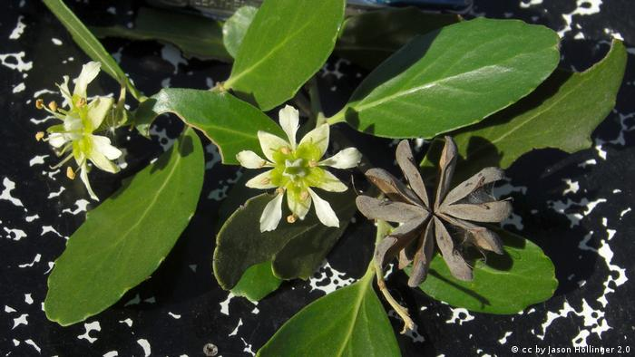El Quillay (Quillaja saponaria), un árbol usado tradicionalmente en la medicina mapuche.