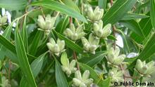Seifenrindenbaum | Quillaria brasiliensis