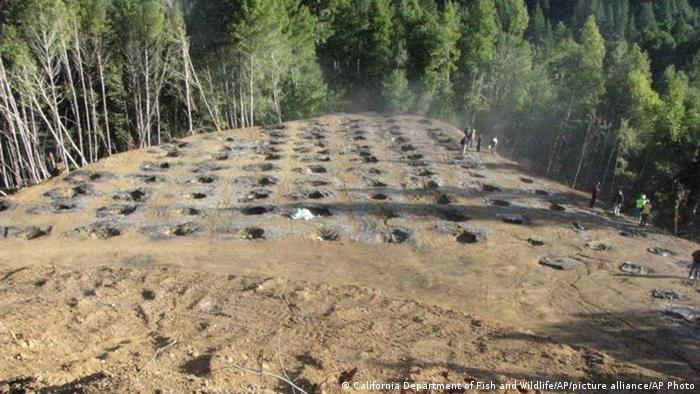 Holes in a cleared patch of land — the remains of a marijuana farm