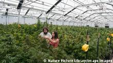 A man and a woman tend cannabis plants at an organic marijuana farm in Pueblo, Colorado
