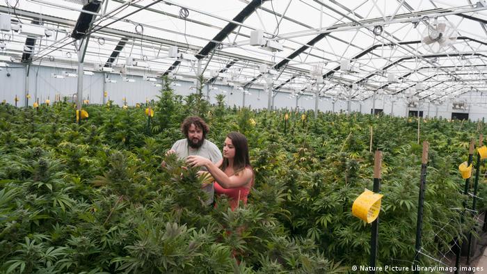 USA Cannabis-Anbau im Gewächshaus