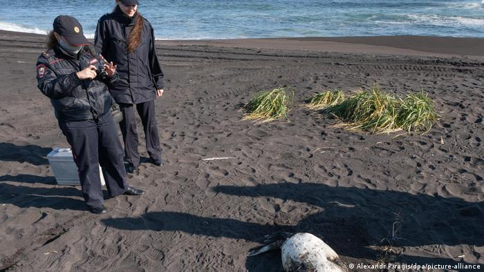 A dead larga seal is pictured on the shore of the Khalaktyrsky Beach, Kamchatka Region, Russia