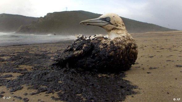 Flash-Galerie Ölverschmutzer Vogel, Spaniens Küste droht eine Ölpest