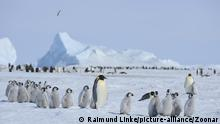 Emperor penguins, Aptenodytes forsteri, Penguin Colony with Adults and Chicks, Snow Hill Island, Antartic Peninsula, Antarctica | Verwendung weltweit