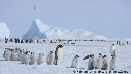 Eine Gruppe von Pinguineltern und Jungtieren
