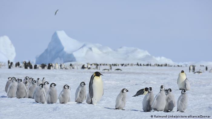 Un grupo de pingüinos emperador cría y adultos.
