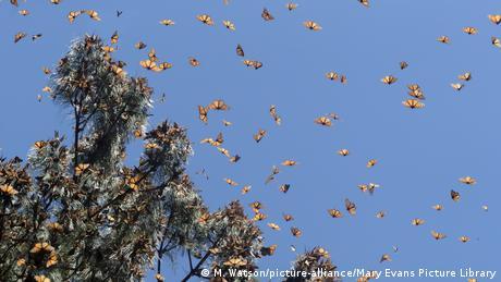 Eine große Gruppe orange-schwarzfarbener Monarchfalter bei einem Baum